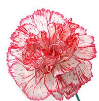 Food-menu-carnation-01